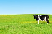 picture of cow head  - Cow grazing on a green meadow - JPG