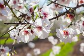 picture of photosynthesis  - Beautiful almond tree flowers in the spring with clean blue sky on the backgrond - JPG