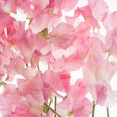 image of sweetpea  - pink fresh sweet pea flower pattern or background - JPG