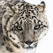 stock photo of snow-leopard  - Frontal portrait of Snow Leopard walking in snow - JPG