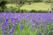 stock photo of lavender field  - Beautiful field of lavender in full bloom - JPG