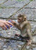 foto of ape-man  - little monkey drinks water from a bottle into a man - JPG