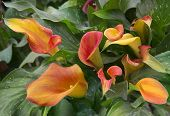 pic of arum lily  - orange calla lily with many leaves as floral background - JPG