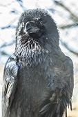 picture of caw  - Black bird Common or the northern raven - JPG