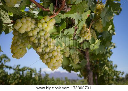 Chardonnay grapes on vine