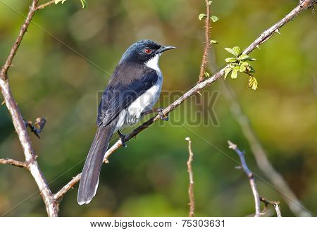 Dark-backed Sibia Heterophasia Melanoleuca