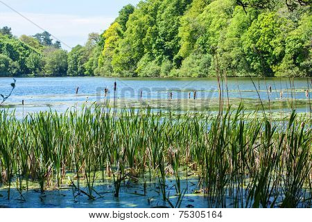 Typha latifolia bulrush in the lake on a sunny day
