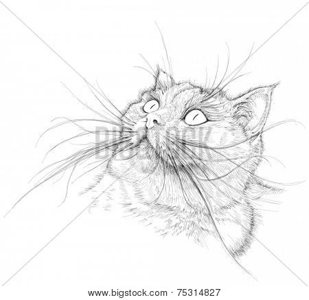 Cat portrait - British chinchilla - black and white vector sketch
