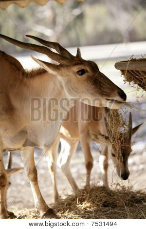 Eland antelope eating farm manger
