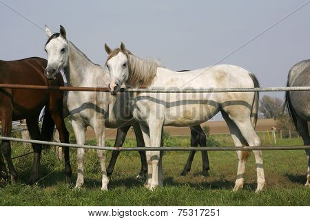 Arabian horses stands together in the corral