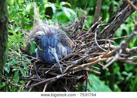 Nesting Little Blue Heron