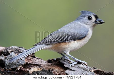 Titmouse with a Seed