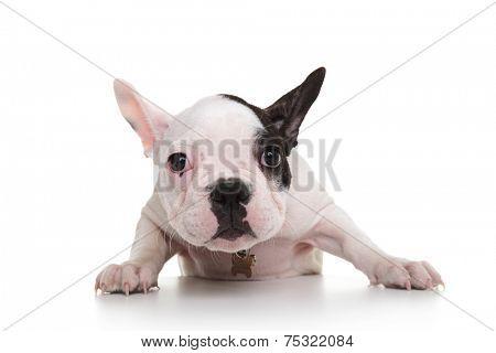 shy and sad french bulldog puppy on white background