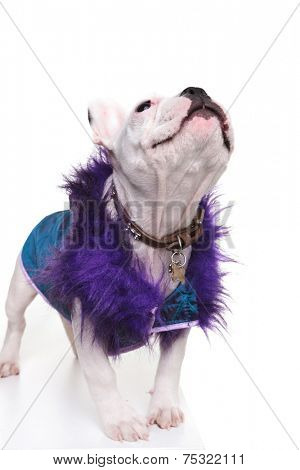 cute french bulldog dressed in a purple fur coat looking up at something on white background