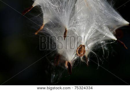 Pod Of Milkweed Seeds In The Morning Sunlight