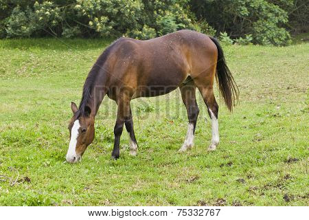 Brown Horse Walking And Grazing
