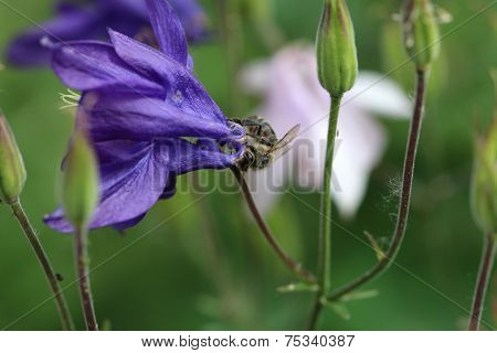 Bee on Aquilegia