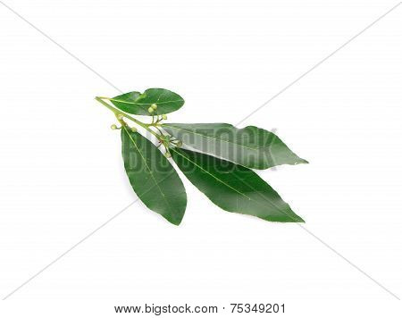 Fresh bay leaves.