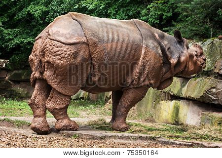 Side View Of Indian Rhinoceros (rhinoceros Unicornis)