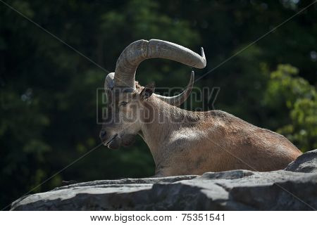 Side view of a lying mountain goat male.