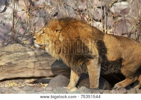Bright sunny portrait of a young Asian lion.
