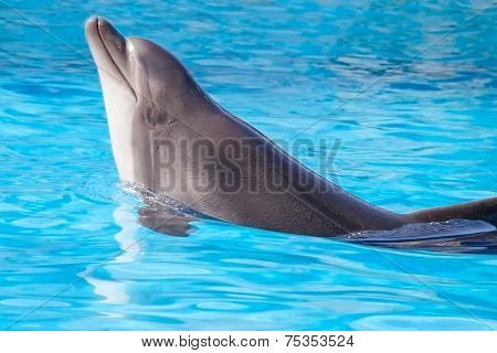beautiful dolphin swims in the water