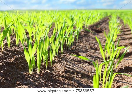 Young wheat seedlings growing in a soil.
