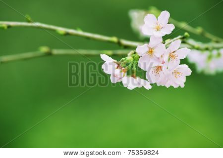 Spring cherry blossom with green spring leaves and grass in the background.