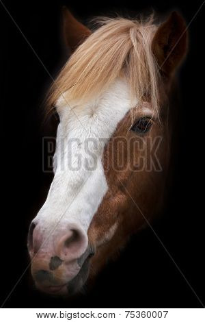 A face portrait of a grace red horse with white stripe on the face isolated on black background.