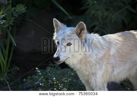 Side portrait of a polar wolf female with yellow eyes on dark background.