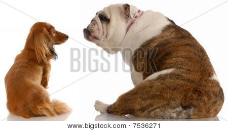 Bulldog And Dachshund Facing Backwards