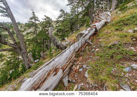 Fallen Tree Trunk In Mountain Forest