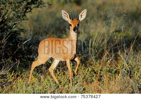 Male steenbok antelope (Raphicerus campestris) in natural habitat, South Africa