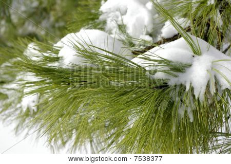 Snow Laden Pine Boughs