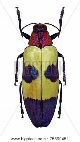 Exotic Jewel Beetle Chrysochroa Buqueti From Thailand