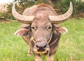 picture of mud-hut  - Close up Asian buffalo in the field - JPG