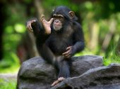 stock photo of omnivore  - Young Common Chimpanzee sitting in the wild - JPG