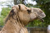stock photo of hump day  - camel head - JPG