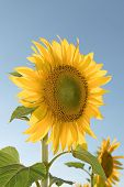 Sunflower In Frias poster