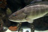 stock photo of grouper  - The Dusky Grouper fish in an oceanarium - JPG