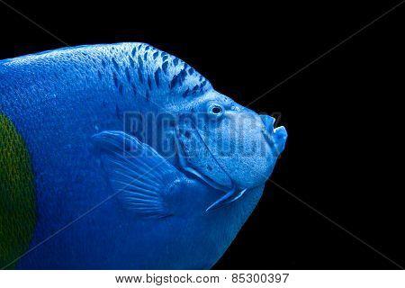 Portrait of an Arabian Angelfish