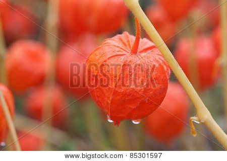 Lampion, bladder cherry