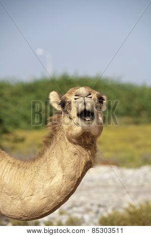 Oman´s Camels III