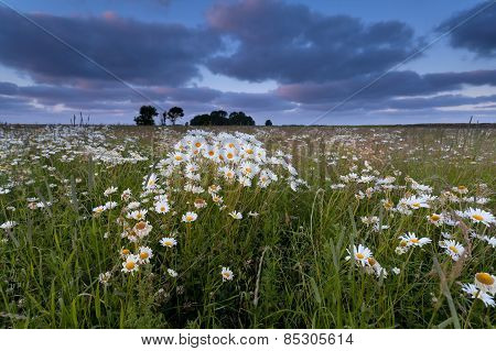 Chamomile Flower Field At Sunset