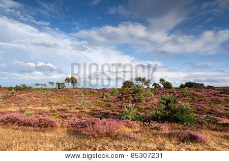 Flowering Heather And Blue Sky