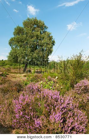 Heather Landscape
