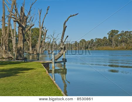 Dead River Gums in the Murray River