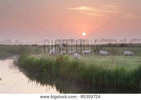 Sheep Herd At Sunrise On Pasture