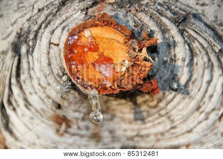 Resin Drop on a Tree Trunk