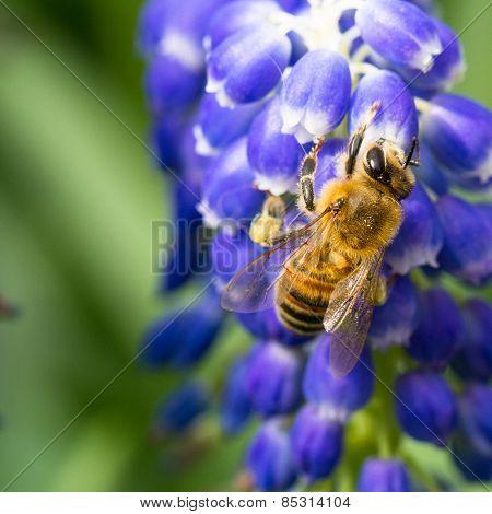 Bee On Muscari Flowers